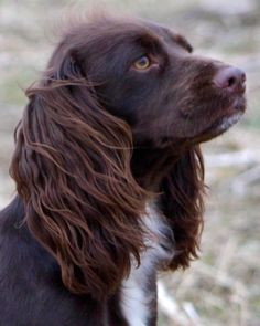 """Exceptional """"spaniel pups"""" info is offered on our website. Check it out and you wont be sorry you did. Spaniel Breeds, Cocker Spaniel Puppies, English Cocker Spaniel, Dog Breeds, Working Cocker, Working Dogs, Chien Springer, Working Spaniel, Puppies And Kitties"""