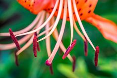Let It All Hang Out.  A tiger lily flaunts her pistil and stamen in a most alluring way.