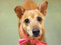 Owner surrendered 14 years of age, elderly dog surrendered to animal control  Breed: Chihuahua/Shiba Inu mix (28 lbs) <3