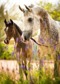 Country Living ~Dapple Grey Arabian Mare and her dark bay gray foal.