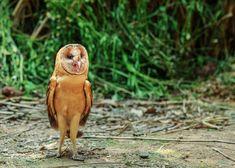 Superb Nature - 草鴞 by Birds, Owls, Nature, Animals, Naturaleza, Animales, Animaux, Bird, Owl