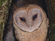 Madagascar Red Owl (Tyto soumagnei) close-up. Photo by Alan Van Norman.