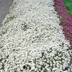 Cerastium Easy-to-grow from Snow in Summer grouncover seeds, this pereherbaceous ground cover plant which is low-growing, creeping, very dense and mat-like, and 6 - 10 inches tall by 12 - 24 inches wide. Although it tolerates no foot traffic. Rock Garden Plants, Garden Shrubs, Garden Landscaping, Landscaping Ideas, Garden Art, Ground Cover Seeds, Ground Cover Plants, Perennial Ground Cover, Snow In Summer