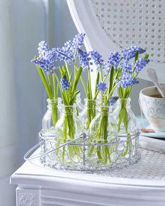 Grape Hyacinths.
