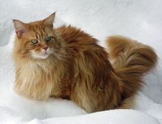 Red Tabby Maine Coon in the Snow