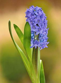 ~~Hyacinth by SvitakovaEva~~ - My site Flower Drawing Images, Flower Images, Flower Pictures, Hyacinth Flowers, Rare Flowers, Fresh Flowers, Beautiful Flowers Pictures, Amazing Flowers, Pretty Flowers
