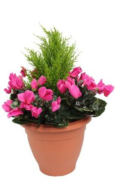 Artificial Pink Cyclamen Flower Plant Bush Shrub In Container Patio Planter  Tub With Artificial Conifer