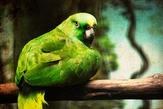 Parrot. This reminds me so much of Chai, a parrot my Dad used to have. Miss him. :/