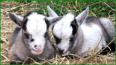 Pygmy Goats and Nigerian Dwarfs Are Social Animals