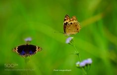 yellow and blue pansy butterfly by hiefadpuiq