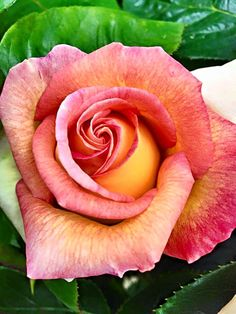 beautiful Rose #aromabotanical