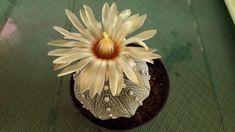 Astrophytum asterias Dream Life, Pineapple, Fruit, Pine Apple