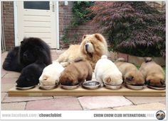 Chow Chow Club International, es lo que yo llamaría variedad!