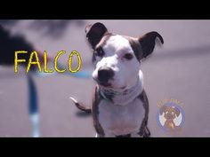 Pictures of Falco a Pit Bull Terrier for adoption in Jackson, NJ who needs a loving home.