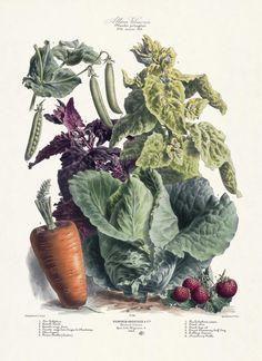 Paintings of Vegetable Gardens | Vilmorin, The Vegetable Garden