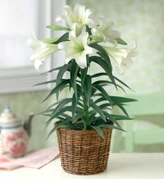 Easter/Sympathy Lily plant