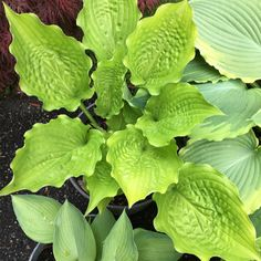 Hosta Ruffled Up Plants, Leaves, Plant Leaves, Hosta Varieties, Garden