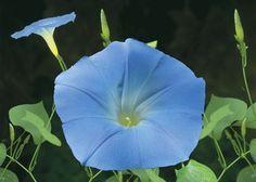 Morning Glory 7.5 ml FE - FES Esencias Florales América del Norte / Esencias Florales / Esencias individuales de Kit profesional - Flores de Bach Milagra