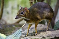 mouse deer - Google Search