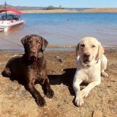 Chocolate lab, yellow Labrador retriever
