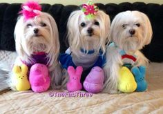 The Fab Three and their Easter toys! They are gorgeous! Mini Maltese, Teacup Maltese, Maltese Puppies, Teacup Puppies, Yorkies, Cute Puppies, Cute Dogs, Dogs And Puppies, Most Beautiful Dog Breeds