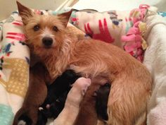 When Blossom the shelter dog lost two of her three newborn puppies in mid-June, she was completely heartbroken. Maggie Escriva, Blossom's foster mum told The Shelter Dogs, Animal Shelter, Animal Rescue, Newborn Puppies, Dogs And Puppies, Animal Snacks, Mama Cat, Foster Mom, Animal Antics