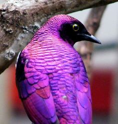 Amethyst Starling, native to sub-Saharan Africa.  -   by Robbie Phelan
