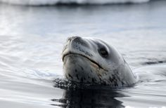 Leopard Seal on Ross Island, Antarctia by Dr. Paul Ponganis via theatlantic #Leopard_Seal #Paul_Ponganis