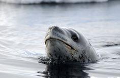Leopard Seal on Ross Island, Antarctia by Dr. Paul Ponganis via theatlantic #Leopard_Seal #Paul_Ponganis