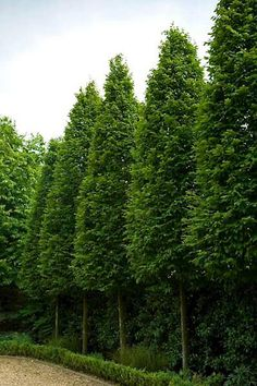 Carpinus betulus 'Frans Fontaine' - Columnar Hornbeam - When young, the cult. - Carpinus betulus 'Frans Fontaine' – Columnar Hornbeam – When young, the cultivar 'Fran Fo - Back Gardens, Small Gardens, Outdoor Gardens, Garden Shrubs, Garden Trees, Garden Bed, Trees And Shrubs, Trees To Plant, Privacy Trees