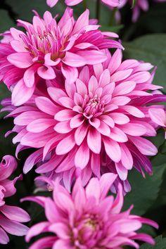 Dahlia 'Gallery Art Nouveau' - Another! Amazing Flowers, Pink Flowers, Beautiful Flowers, Art Nouveau, Dahlia Flower, Flower Art, Peony, Growing Dahlias, Pink Garden
