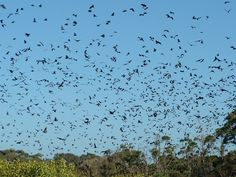 A cloud of bats. The skies over our place are the same at dusk during warmer months