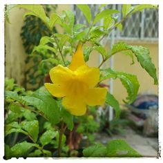 O Amarelinho, Ipê-amarelo-de-jardim, Ipê-mirim, Ipêzinho-de-jardim, Sinos-amarelos ou Tecoma stans que floresce no meu jardim particular.