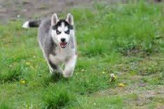 Description du Husky de Sibérie : Elevage Husky du Vercors