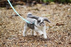 Young mini lop out for a walk  They are so much  smart than people thinks. Ours came when he was called and loved to play tag. You chase him and he would chase you. Miss my Mr. Bunnes.