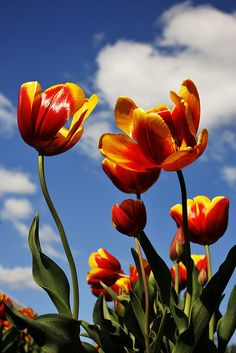 Glorious Tulips