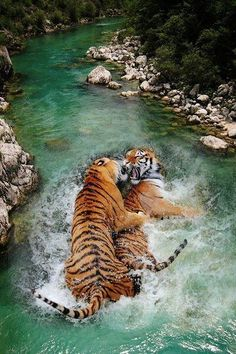Amazing wildlife. Tigers and water photo