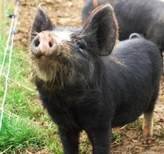 George, the runt of a Berkshire Pig litter.