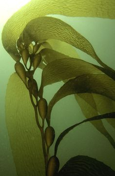 Kelps are large, fast growing brown seaweeds in the order Laminariales, which includes 30 genera, the most commonly used of which are Laminariaceae. Kelps grow in underwater forests in shallow, nut...