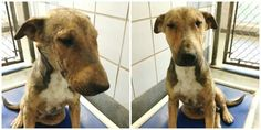 San antonio tx what a gorgeous dog...bull terrier and shepherd mix