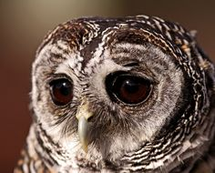 poultry owl owl sovushka a sad sight eyes