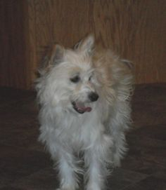 Carl is approx 6 yr old (born approx 2007) male Chinese Crested Powderpuff who weighs 17.4 lbs.  He is a little underweight at this time.  He is tall at 16 ½ inches.  He is neutered and up to date on his shots.  We don't know Carl's...
