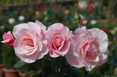 'Our Lady of Guadalupe ' Rose Photo