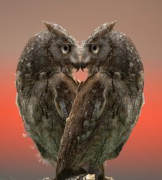We 'heart' owls. And these two appear to be having a face-off! #clublocal #owl #lovebirds