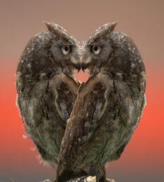 #Coração ♡ Corujas em Formação de♡ ☆ We 'Heart' Owls ☆