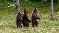 4 months old bear cubs in Finland at June 2014 - Arsi Ikonen Cute Funny Animals, Cute Baby Animals, Funny Cute, Animals And Pets, Forest Creatures, Woodland Creatures, Nature Pictures, Animal Pictures, Funny Looking Cats