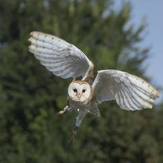 "78 Likes, 24 Comments - Diana de Bruin (@clowntje1968) on Instagram: ""Barn Owl . . #bns_birds #pocket_birds #global4nature #ip_birds #kings_birds_#naturyst…"""