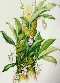 """margaret mee (1902-1988) - """"tronco com flores e parasitas"""" in ´flores da floresta amazônica' (2a ed., 2010)"""