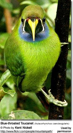 Blue-throated Toucanet (Aulacorhynchus caeruleogularis). Lives in the mountain forests of Costa Rica and western Panama