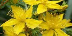 Kantaron Otu Zeytinyağı Karışımı Tarifi ve Malzemeleri Herbs, Plants, Herb, Plant, Planets, Medicinal Plants